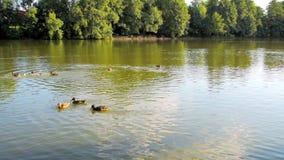 Acumule con muchos patos que nadan en un agua almacen de metraje de vídeo