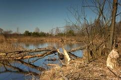 Acumule en primavera temprana y los árboles reducen por los castores Foto de archivo
