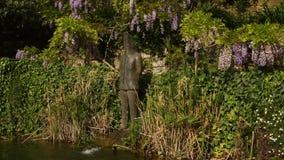 Acumule en un jardín con glicinia púrpura hermosa en la floración metrajes