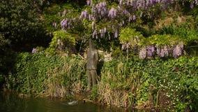Acumule en un jardín con glicinia púrpura hermosa en la floración almacen de metraje de vídeo