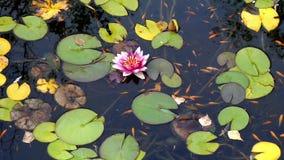 Acumule la superficie con el lirio de agua floreciente y los pescados decorativos rojos flotantes metrajes