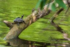 Acumule la tortuga, tortuga, en una rama de árbol sobre el agua en sol, espacio de la copia, tortuga india de la tienda, tecta de  Imagen de archivo