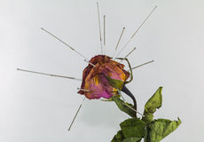Acupuncture on dry rose in concept healing wrinkle or acupunctur Royalty Free Stock Photo