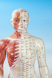 Acupuncture Dummy. Body section of Acupuncture Model Stock Photo