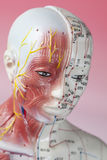 Acupuncture Model. Close up of Acupuncture Model Royalty Free Stock Photos