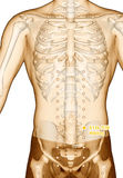 Acupuncture point Drawing ST26 Wailing, 3D Illustration. Meridians and Acupoints, Stomach Meridian, Human Body, Human Skeleton,  Drawing Royalty Free Stock Image
