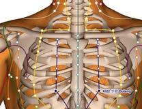 Acupuncture Point KI22 Bulang, 3D Illustration Stock Image