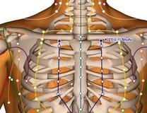 Acupuncture Point KI27 Shufu, 3D Illustration Stock Photo