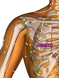 Acupuncture Point PC1 Tianchi, 3D Illustration Royalty Free Stock Photo