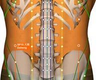 Acupuncture Point SP15 Daheng, 3D Illustration Stock Photos