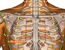 Acupuncture Point SP17 Shidou, 3D Illustration Stock Images