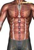 Acupuncture point ST10 Shuitu, 3D Illustration Stock Image