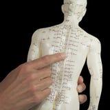 Acupuncturist que señala a BL17 en modelo de la acupuntura imagen de archivo