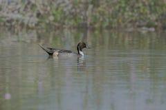 Acuta masculino de las anecdotarios del pato rojizo septentrional en el lago fotos de archivo