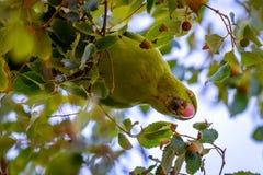 Acuticaudata selvagem de Aratinga dos periquitos em ramos da árvore no parque Vida selvagem na cidade fotografia de stock royalty free