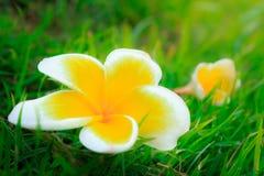 Acutifolia Plumeria poir Στοκ εικόνες με δικαίωμα ελεύθερης χρήσης