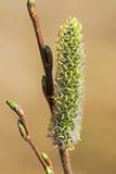 Acutifoliate do salgueiro (lat Acutifolia do Salix) Foto de Stock