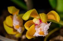 Acutifolius di Gastrochilus immagini stock libere da diritti