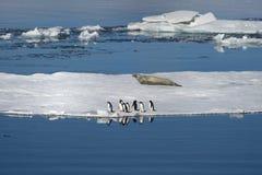 Adélie pingwiny i Weddell foki współżyją w Weddell morzu Obrazy Royalty Free