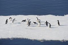 Adélie pingwiny na blokach lód w Weddell morzu Obrazy Royalty Free