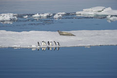 Adélie penguins and Weddell seals coexist in the Weddell Sea. Stock Photo