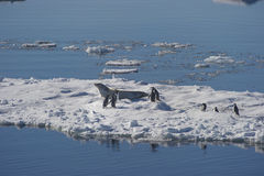 Adélie penguins and Weddell seals coexist in the Weddell Sea. Stock Image