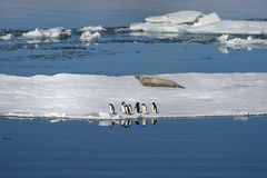 Adélie penguins and Weddell seals coexist in the Weddell Sea. Royalty Free Stock Images