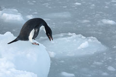 Adеlie penguins getting ready to jump to the ice in the ocean. Stock Images