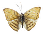 Ada Vanessa-Schmetterlinge Stockfoto