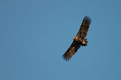 Adalbert`s, Aquila adalberti, Iberian imperial eagle, Span royalty free stock images