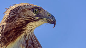 Red-tailed Hawk  (Buteo jamaicensis) Stock Images
