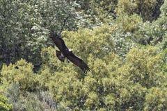 Adalberti Аквила, испанский имперский орел стоковые фотографии rf
