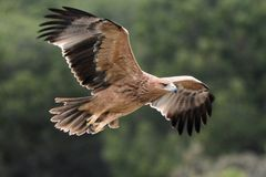 Adalberti imperial español juvenil de Eagle - de Aquila - vuelo, España fotografía de archivo