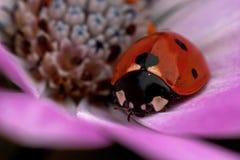 Adalia bipunctata di Ladybird dello scarabeo Fotografia Stock Libera da Diritti