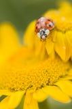 Adalia decempunctata,  ten-spotted ladybird Royalty Free Stock Image