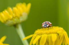 Adalia decempunctata,  ten-spotted ladybird Stock Image