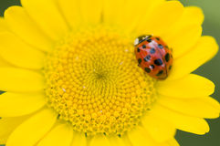 Adalia decempunctata,  ten-spotted ladybird Royalty Free Stock Photography