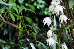 Adam en Vooravond` Aplectrum Hyemale ` Orchidee Stock Afbeelding