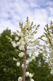 Adam's Needle (Yucca filamentosa). Blooming here in a shopping centre car park, Eastern United States Royalty Free Stock Photography