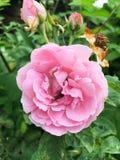 Adamaszek róży kwiat obraz stock