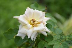 Adamaszek róży kwiat zdjęcie stock