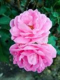 Adamaszek róży kwiat w natura ogródzie obrazy stock
