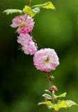 Adamaszek wzrastał w ogródzie obrazy stock