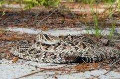 Adamenteus del este del Crotalus de la serpiente de cascabel de Diamondback Fotografía de archivo libre de regalías