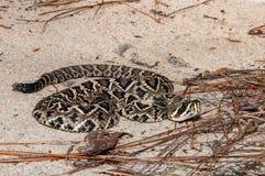 Adamenteus del este del Crotalus de la serpiente de cascabel de Diamondback Fotos de archivo libres de regalías