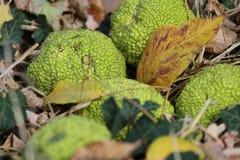 Adams Apfel des Grases und der Blätter. Stockfoto