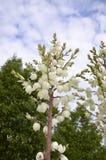 Adams Nadel (Yucca filamentosa) Lizenzfreie Stockfotografie
