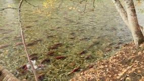 Adams River Sockeye Salmon Spawning Pairs stock video footage