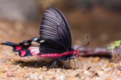 Adamson& x27; borboleta de s Rosa foto de stock