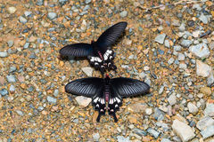 Adamson& x27; borboletas de s Rosa imagem de stock